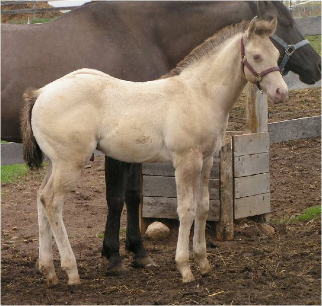 Quarter horse foals for sale! GrullaColt_rt_5-1