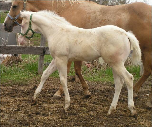Quarter horse foals for sale! Ivy_Trot_5-1