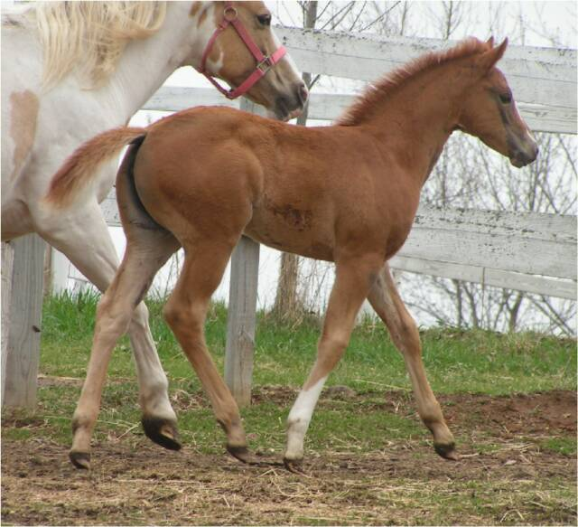 Quarter horse foals for sale! Ruby_Trot_2_w_shar_5-1