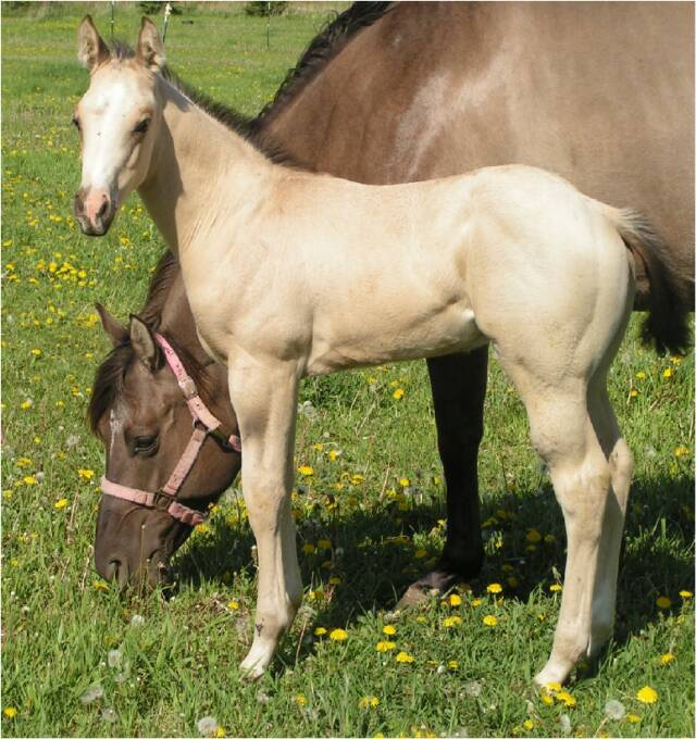 Quarter horse foals for sale! Spirit_Left_5-22